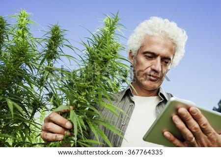 Confident farmer in a hemp field using a digital touch screen tablet - stock photo