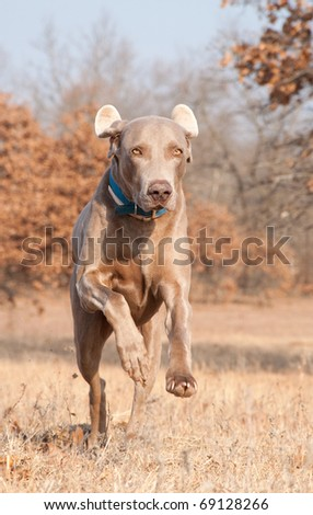 Confident Weimaraner dog leaping towards the viewer - stock photo