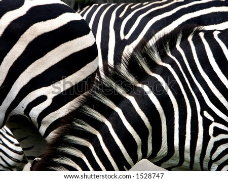 Confusion. How zebras stripes confuse the predators if they stick together - stock photo