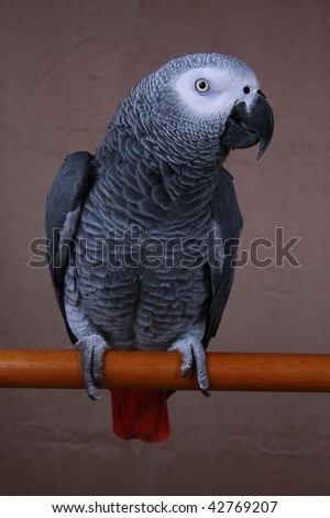 Congo African Grey parrot on a stand taken in vertical format. Latin name Psittacus erithacus - stock photo