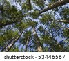 Conifer Canopy, Indiana - stock photo