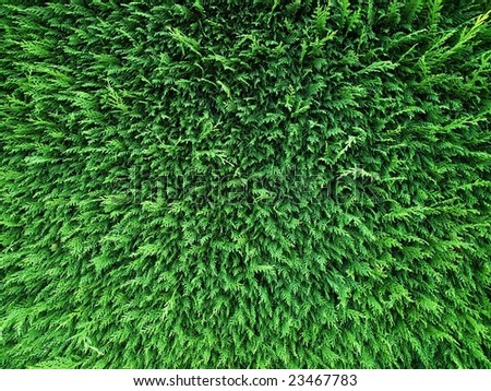 Conifer hedge abstract - stock photo