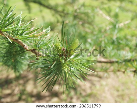 conifer tree with larch cones - stock photo