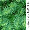 coniferous background - stock photo