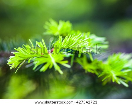 Coniferous branches with young light green shoots.
