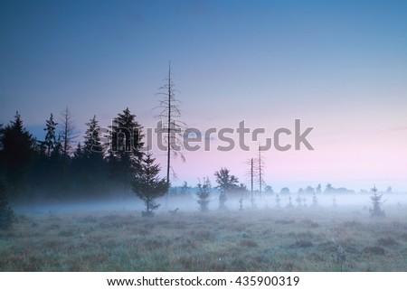 coniferous forest at misty summer sundown - stock photo
