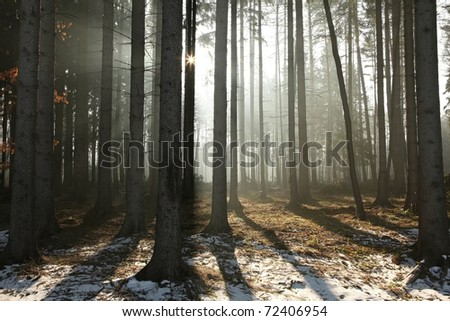 Coniferous forest backlit by the morning sun on a foggy early spring day. - stock photo
