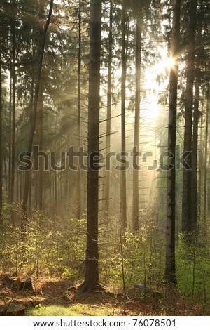 Coniferous forest backlit by the morning sun on a foggy spring day.