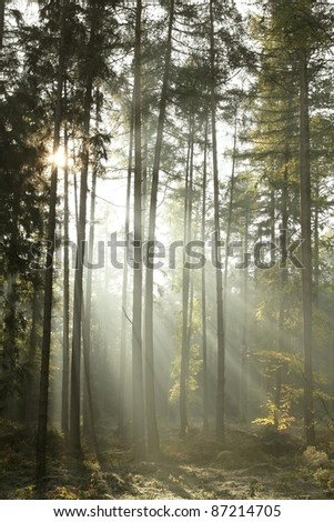 Coniferous forest backlit by the morning sun on a misty autumn day. - stock photo