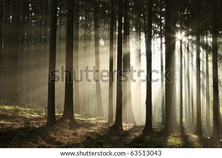 Coniferous forest backlit by the rising sun on a foggy autumn day. - stock photo