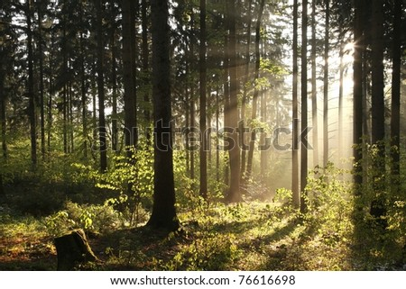 Coniferous forest backlit by the rising sun on a foggy spring day. - stock photo