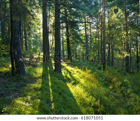 Coniferous forest early in the morning. Sunrise in the forest.