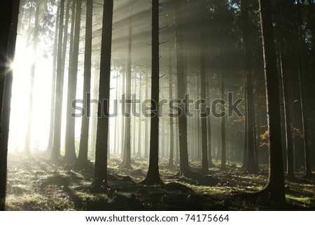 Coniferous forest illuminated by the morning sun on a foggy autumn day.