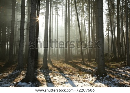 Coniferous forest illuminated by the morning sun on a foggy early spring day. - stock photo