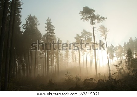 Coniferous forest in dense fog backlit by the morning sunlight. - stock photo