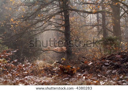 Coniferous forest in fall colors and lights. - stock photo