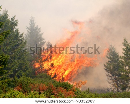 Coniferous forest in fire
