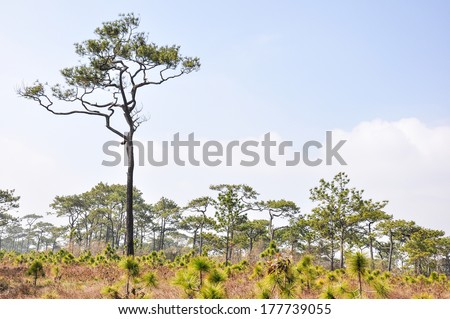 coniferous forest in Thailand with blue sky