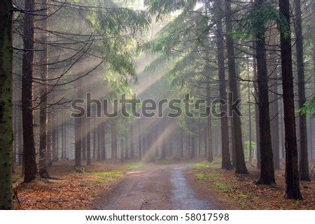 coniferous forest in the early morning - a film of mist - stock photo