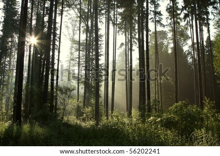 Coniferous forest in the morning with the sun shining through the trees. - stock photo