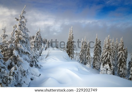 Coniferous forest in winter. Beautiful snow drifts. Christmas view - stock photo