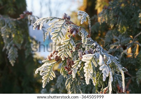 Coniferous (Thuja) branches and cones covered with hoarfrost. Close up. - stock photo