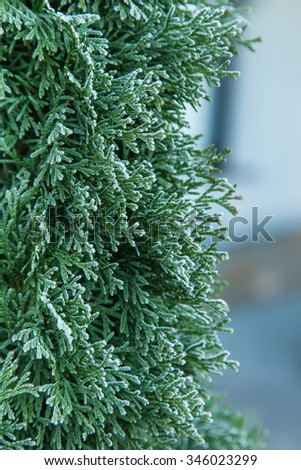Coniferous (Thuja) branches covered with hoarfrost, natural background - stock photo