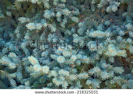 coniferous tree background - stock photo