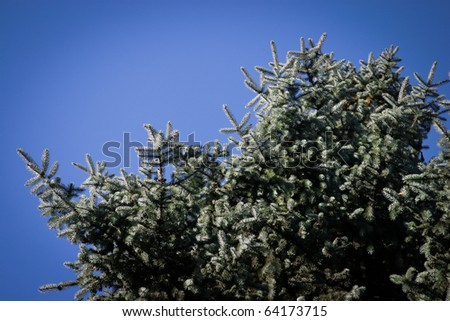 coniferous tree on a blue background