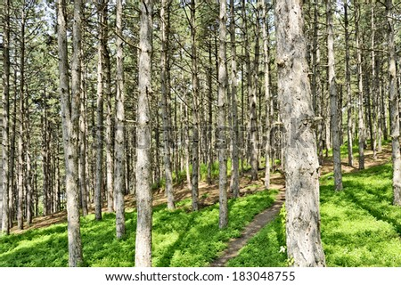 Coniferous Trees in the shore of lake Ohrid, in Ohrid, Macedonia, on May 18, 2011.