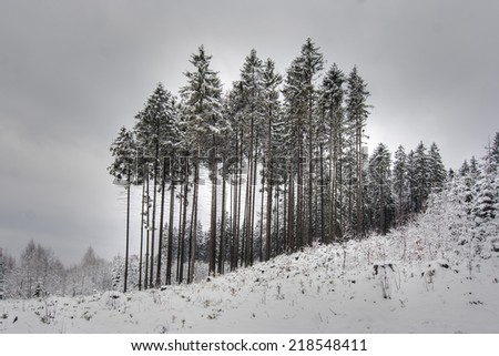 coniferous trees in winter - stock photo