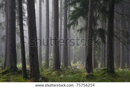 Coniferous trees silhouette against light of misty sunrise morning with spiders net on spruce trees - stock photo
