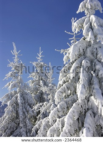 Coniferous trees under thick snow cover over clear blue sky on cold winter day - stock photo