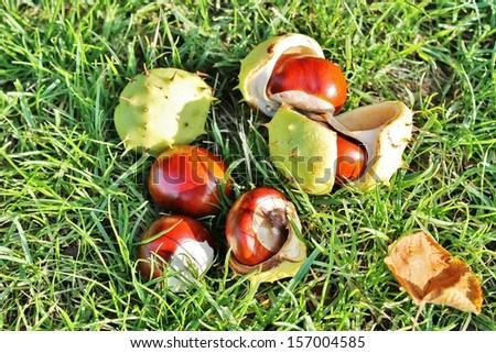 Conker shell husk fallen from tree split open ripe and golden brown - stock photo