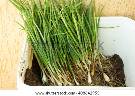 Container full of herbs (green onion, leek, chive) for planting - stock photo