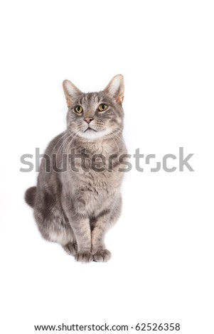 content tomcat isolated on white background for you text - stock photo