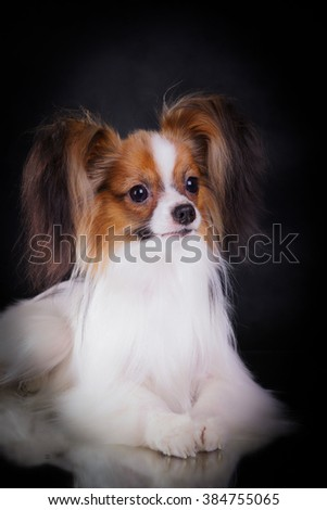 Continental Toy Spaniel Papillon with red poppies sitting on a black background
