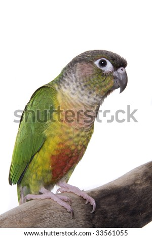 Conure, Green Cheeked Yellow Sided, Pyrrhura molinae, mutated, domestic, isolated on white