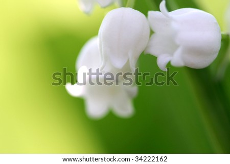 Convallaria majalis, or lily of the valley in full bloom close up - stock photo