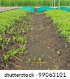 Conversion of vegetable seedlings planted in rows as well. - stock photo