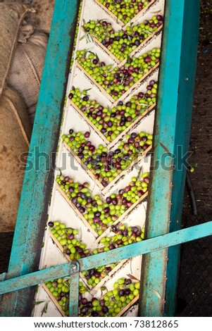 Conveyor belt constantly feeding olives into small scale olive oil mill factory for extracting extra virgin olive oil. - stock photo