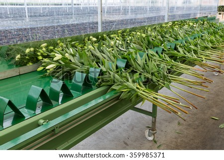 Conveyor belt in Dutch greenhouse for transporting fresh new picked lilys
