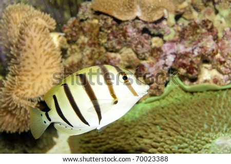 Convict Tang For Sale Convict Tang Acanthurus