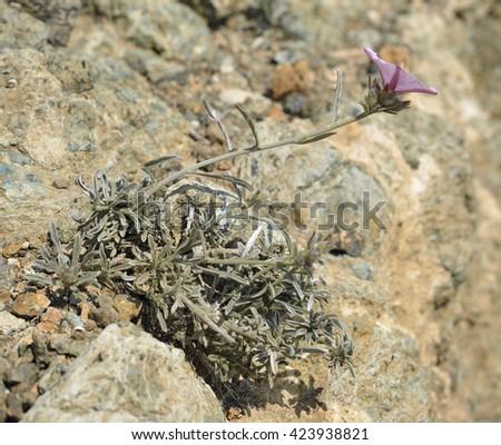 Convolvulus oleifoliusBindweed Plant on dry rock - stock photo