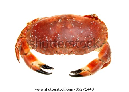 Cooked brown crab viewed from above isolated against white