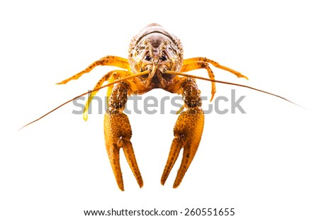 cooked crayfish closeup isolated on a white background - stock photo