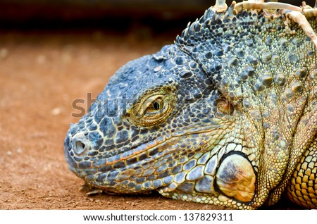 Cool and sly, iguana smiling at you - stock photo