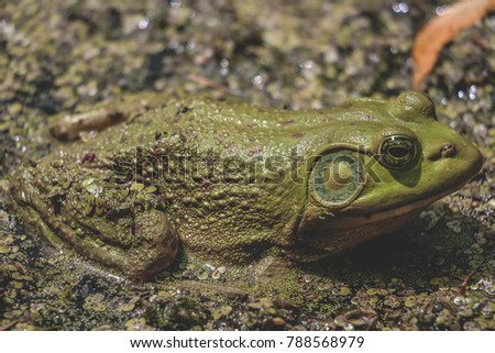 Cool Close up of an Bull Frog Resting in a Pond Full of Duck Weed: Ontario Canada: Summer 2017