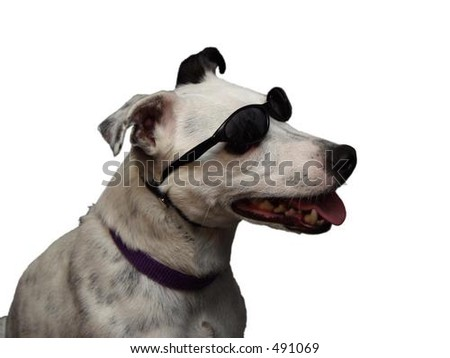 cool dog with sunglasses - stock photo