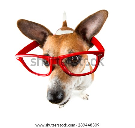 Cool funny small dog pup with red glasses without lenses with large protruding ears - stock photo